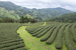 茶领域在美斯乐清莱,泰国 免版税库存照片
