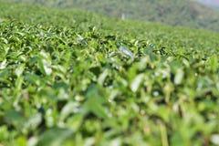 茶领域在美斯乐,泰国。 免版税图库摄影