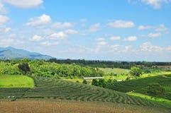 茶领域 图库摄影