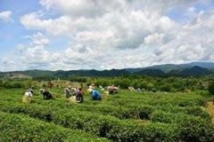茶领域 库存图片