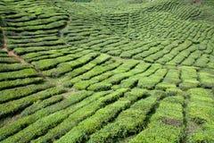 茶领域 免版税库存照片