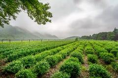 茶plantage在杭州,中国 库存照片