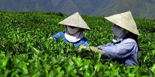 茶PLANTAION工作者 库存照片