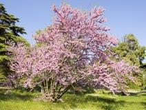 紫荆树,保加利亚 免版税库存照片