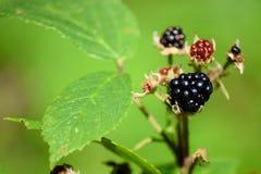 荆棘和黑莓 免版税库存照片