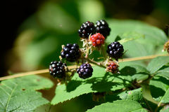 荆棘和黑莓 图库摄影