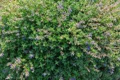 荆芥属,也称开花在蓝色紫色颜色的猫薄荷  免版税库存照片