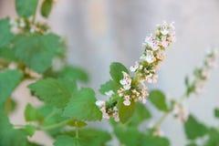 荆芥属cataria叶子在有机庭院里 库存图片