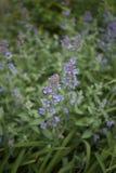荆芥属cataria植物淡紫色花  库存图片