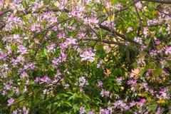 紫荆花variegata 免版税库存照片