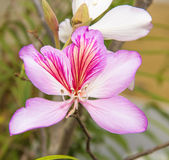 紫荆花variegata 图库摄影