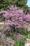紫荆Siliquastrum树 免版税库存照片
