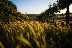 草、杂草和葡萄树 免版税库存照片