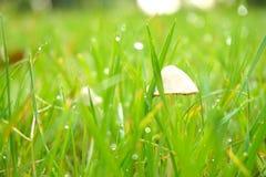 绿草、水下落、露珠和白色蘑菇 免版税库存照片