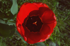 以草为背景的红色郁金香 免版税库存照片