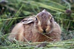草兔子年轻人 图库摄影