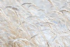 草分支冻在冰 冻结的草分支在冬天 分行包括雪 免版税库存图片