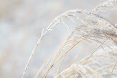 草分支冻在冰 冻结的草分支在冬天 分行包括雪 库存图片
