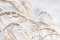 草分支冻在冰 冻结的草分支在冬天 分行包括雪 库存照片