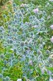 草刺芹属植物刺芹属植物 免版税库存照片