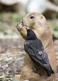 草原土拨鼠和鸟 免版税图库摄影