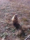 草原土拨鼠在俄克拉何马 图库摄影