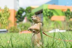 草原土拨鼠在公园 免版税库存图片