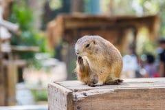 草原土拨鼠在庭院里 免版税库存照片