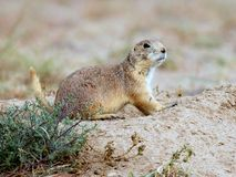 草原土拨鼠在科罗拉多 免版税库存图片