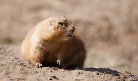 草原土拨鼠在软的焦点 免版税库存照片