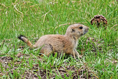 草原土拨鼠小狗在西奥多・罗斯福国家公园在北达科他 免版税库存照片