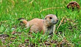 草原土拨鼠小狗在黄石国家公园在怀俄明 图库摄影