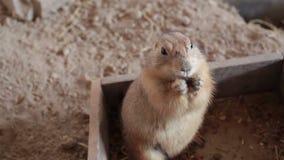 草原土拨鼠或草原犬鼠、立场和eatting的食物特写镜头 股票视频
