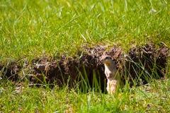 草原土拨鼠草洞穴Yolyn上午蒙古 图库摄影