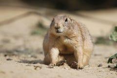 草原土拨鼠,坐 图库摄影