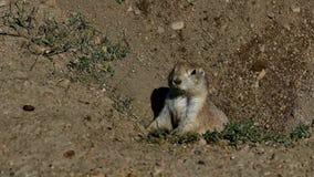 草原土拨鼠,草原犬鼠ludovicianus,在洞穴入口 股票录像