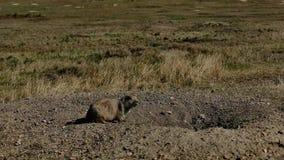 草原土拨鼠,草原犬鼠ludovicianus,在洞穴入口 股票视频