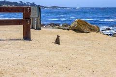 草原土拨鼠, 17英里驾驶,加利福尼亚 免版税图库摄影