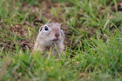 草原土拨鼠(草原犬鼠ludovicianus) 库存图片
