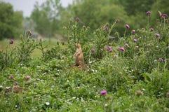 草原土拨鼠 库存图片