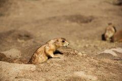 草原土拨鼠(Cynomis Ludovicianus) 免版税库存照片