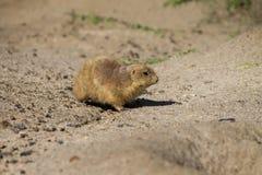 草原犬鼠-走在沙子的草原土拨鼠 图库摄影