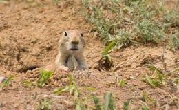 草原犬鼠ludovicianus,黑被盯梢的草原土拨鼠 库存照片
