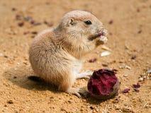 草原犬鼠ludovicianus -黑色的婴孩盯梢了草原土拨鼠 免版税库存图片