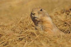 草原犬鼠ludovicianus -黑被盯梢的草原土拨鼠 库存图片