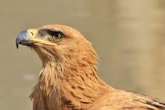 草原雕-从非洲的狂放的鸟背景-动物界天使 免版税库存图片