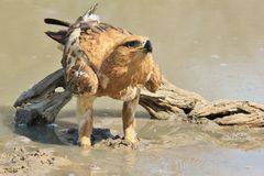 草原雕-从非洲的狂放的鸟背景-从动物界的偶象秀丽 库存照片