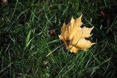 草叶子槭树黄色 库存照片