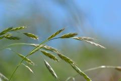 草叶的一张宏观照片反对软软地defocused背景的 软的自然颜色和草的美好的细节 免版税图库摄影