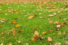 绿草和下落的叶子 秋天背景特写镜头上色常春藤叶子橙红 免版税库存图片